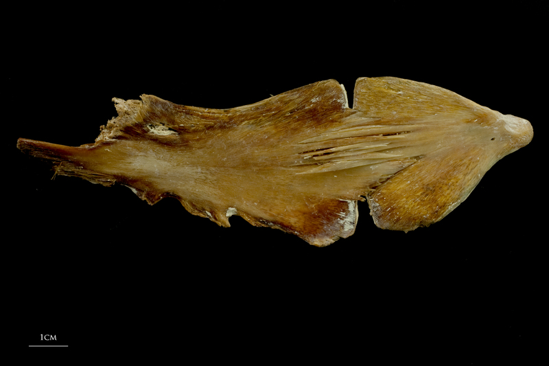 Atlantic bluefin tuna  ceratohyal epihyal complex lateral view