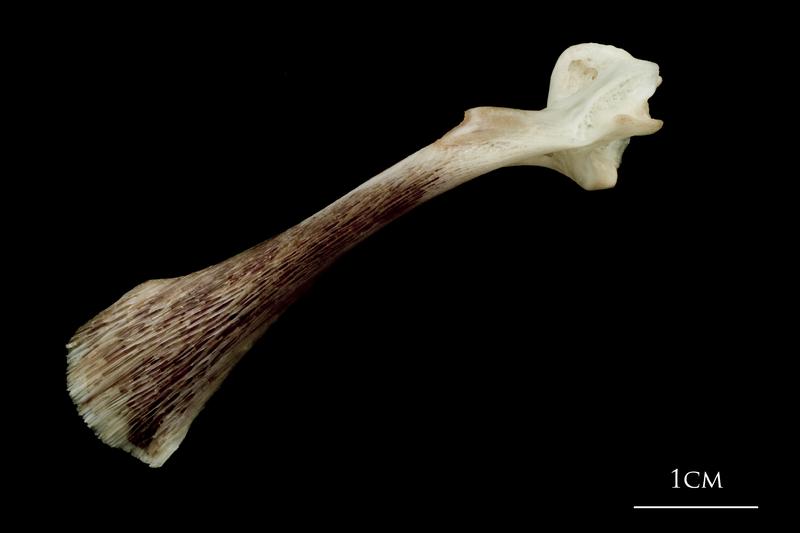 Atlantic halibut maxilla lateral view
