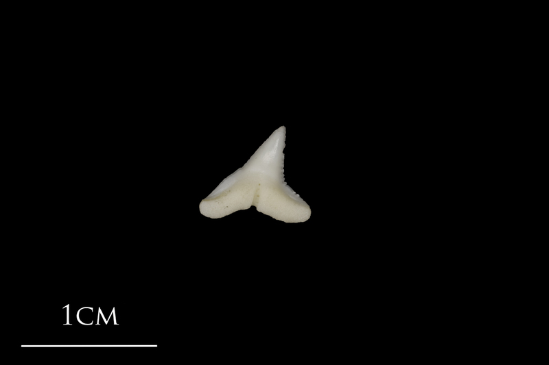 Blue Shark teeth lateral view