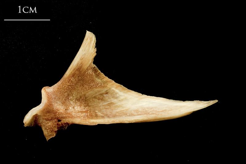 Catfish articular medial view