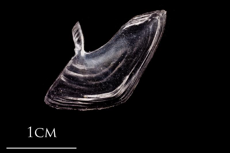 Atlantic herring subopercular lateral view