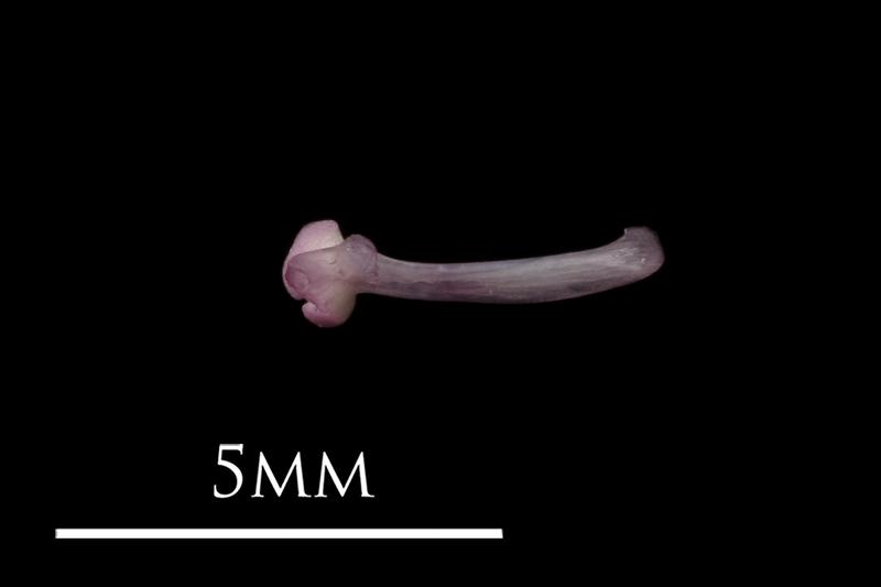 Dragonet maxilla medial view