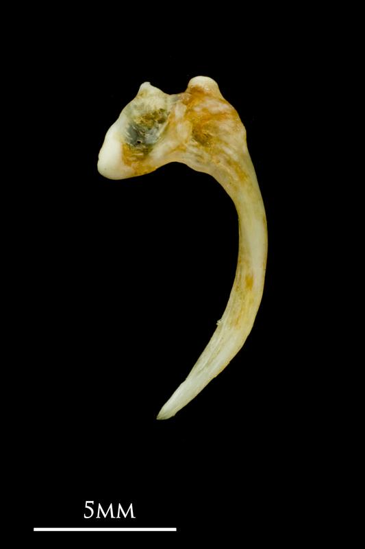 Common sole maxilla lateral view