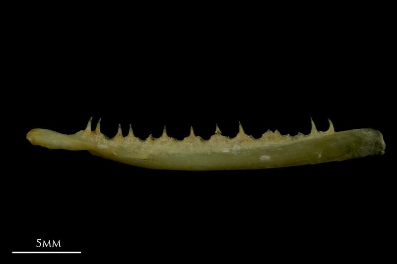 Arctic Char maxilla lateral view