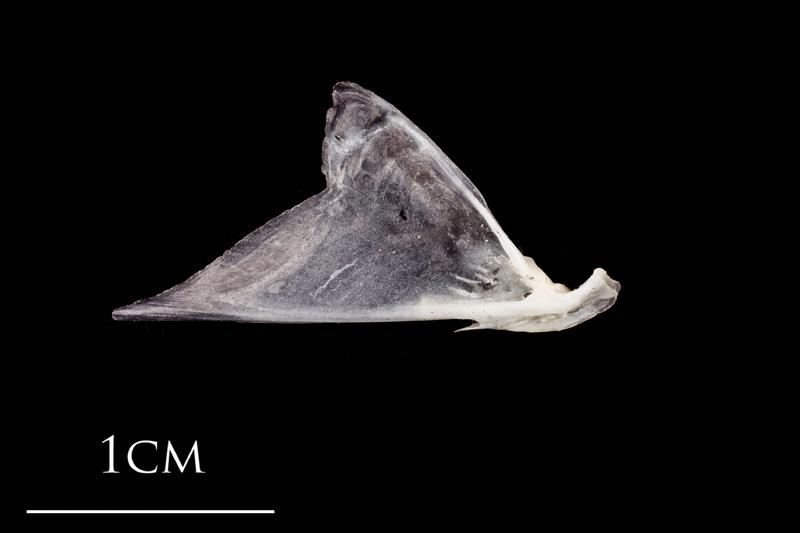 Atlantic herring articular lateral view