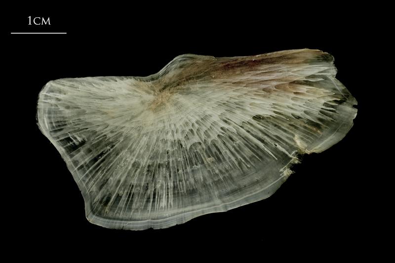 Atlantic halibut subopercular medial view