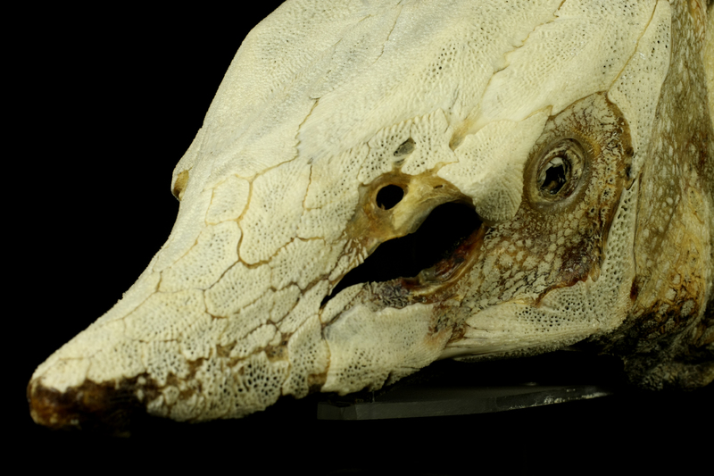 Sturgeon skull detail view