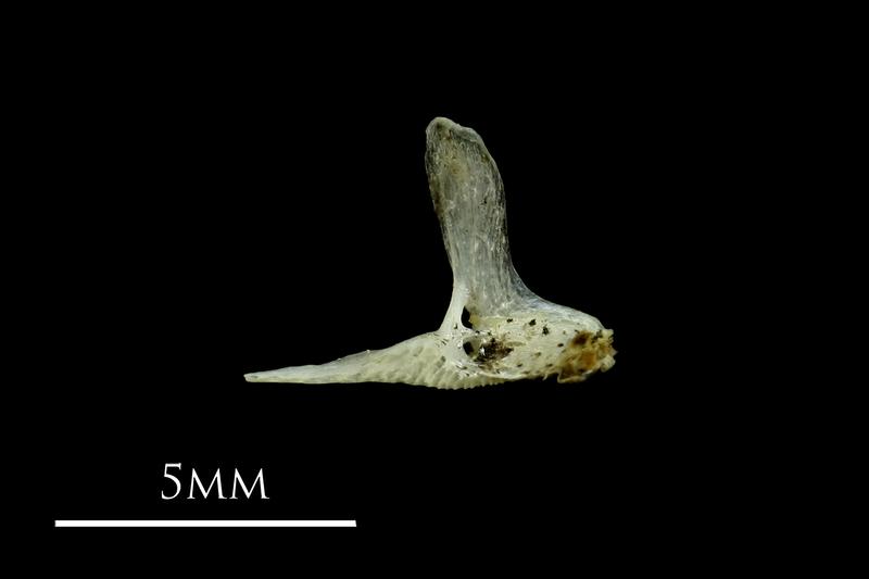 Three-spined stickleback premaxilla medial view