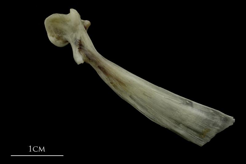 Brill maxilla lateral view