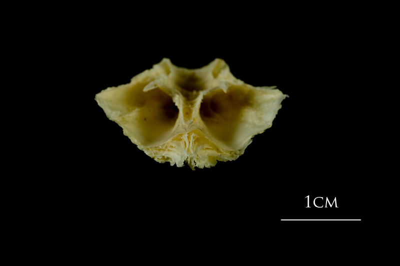Atlantic cod basioccipital posterior view