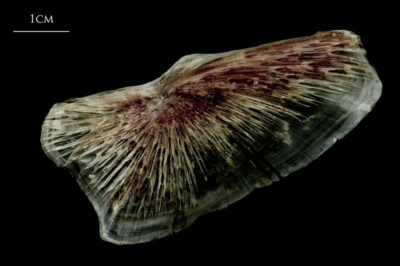 Atlantic halibut subopercular lateral view