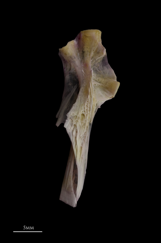 Tub gurnard hyomandibular lateral view