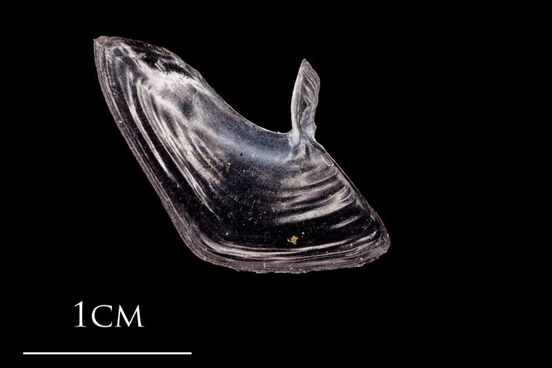 Atlantic herring subopercular medial view