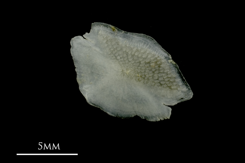 Grey Triggerfish otolith(s) detail view