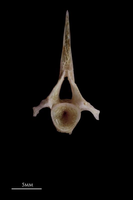 Red seabream precaudal vertebra anterior view