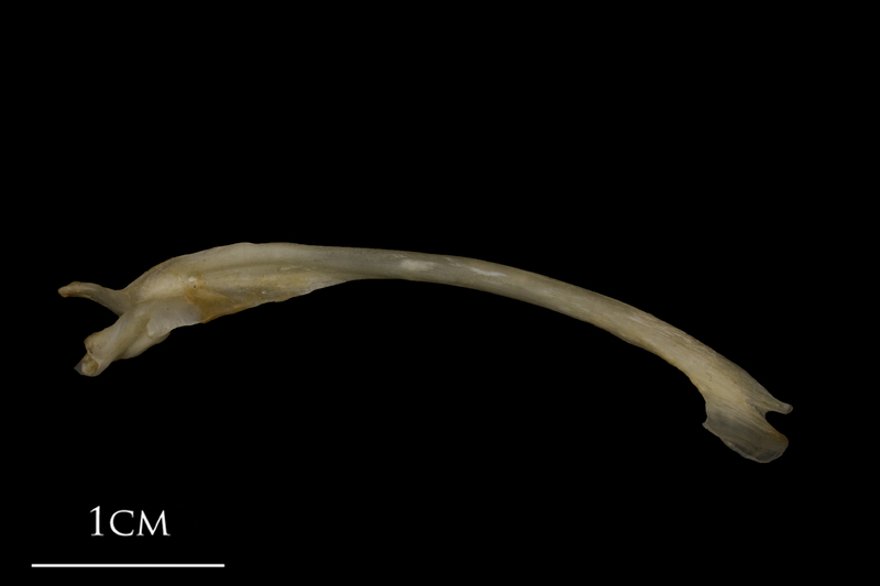 Shore rockling maxilla lateral view