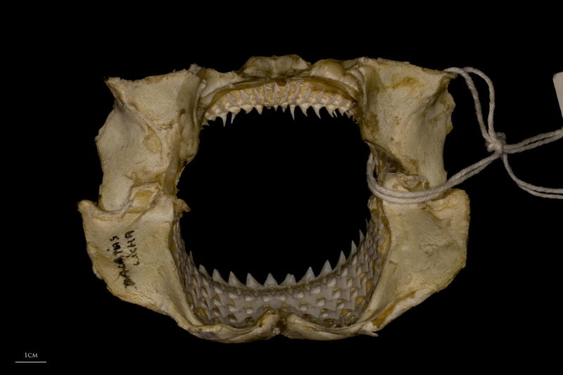 Kitefin Shark jaw posterior view
