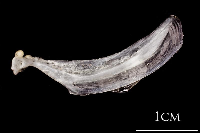 Atlantic herring maxilla lateral view