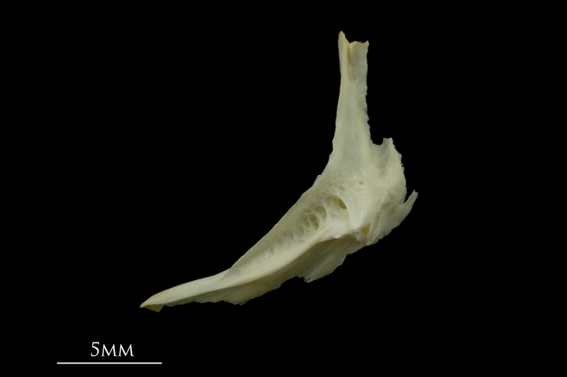 Dragonet cleithrum lateral view