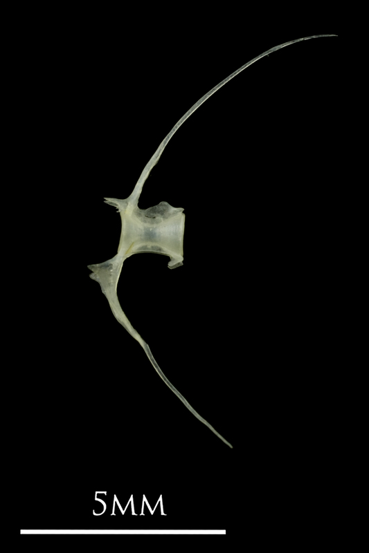 European anchovy precaudal vertebra lateral view
