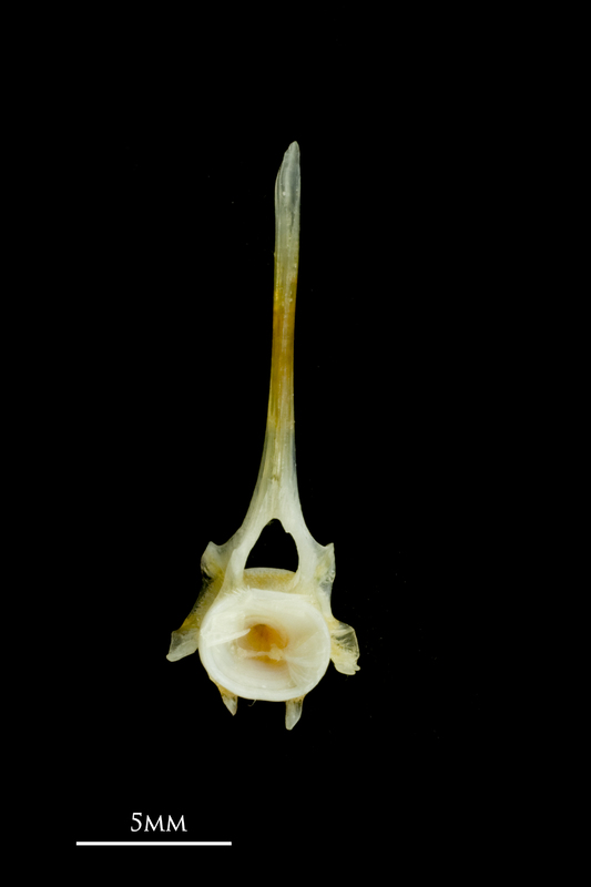 Common sole precaudal vertebra anterior view