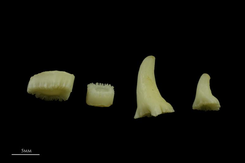 Catfish teeth lateral view