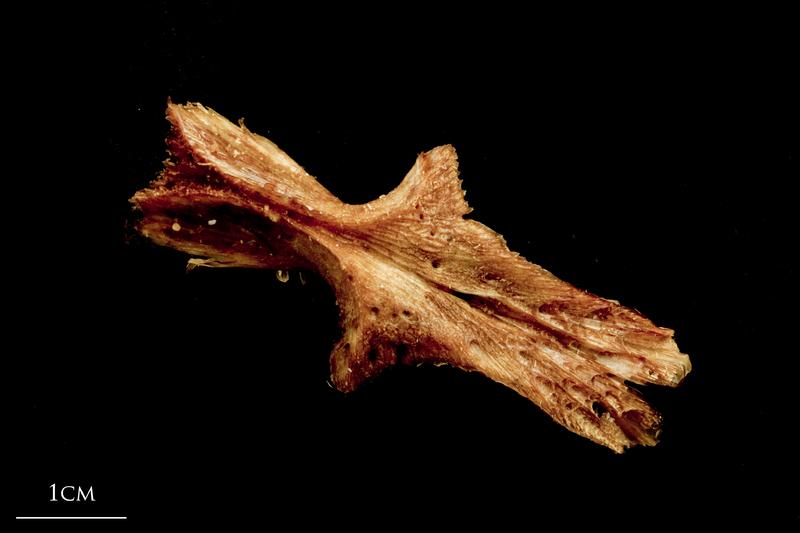 Catfish parasphenoid ventral view