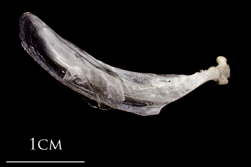Atlantic herring maxilla medial view