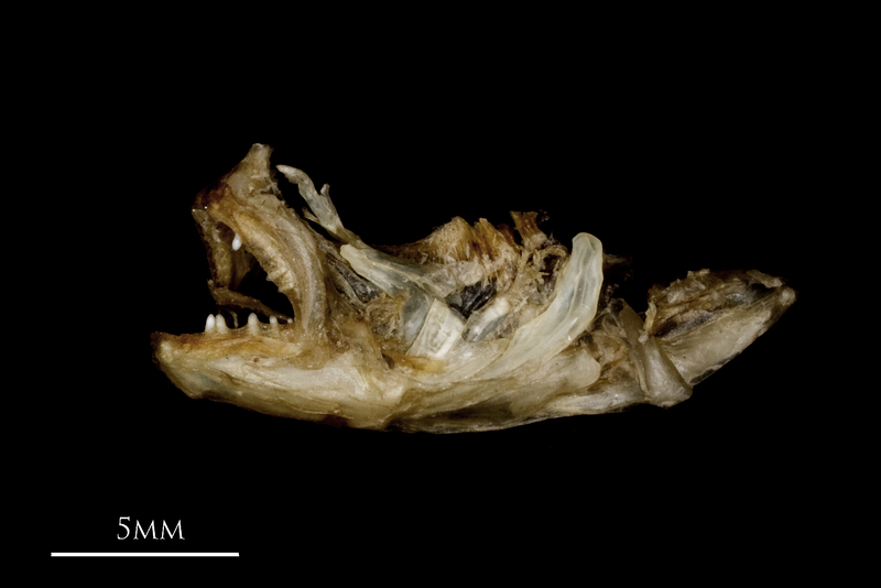 Butterfish dentary premaxilla lateral view