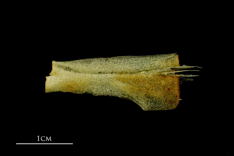 Atlantic mackerel ceratohyal lateral view