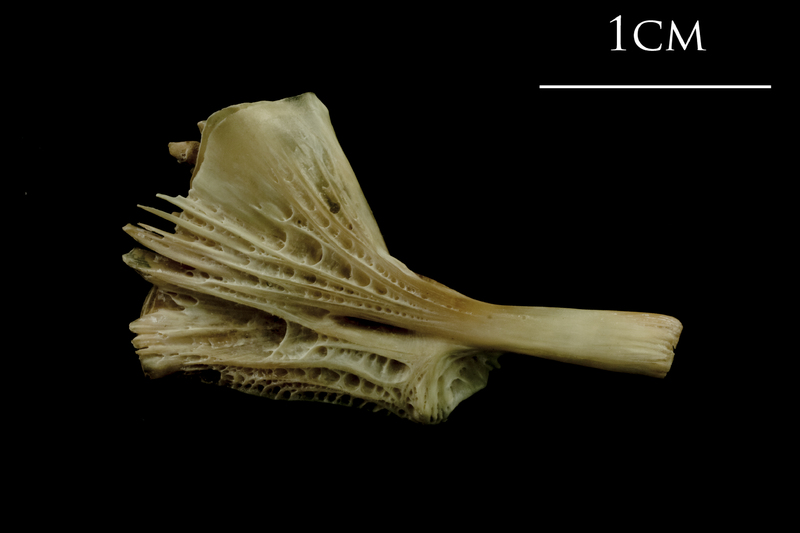 Turbot ceratohyal lateral view