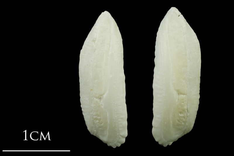 Haddock otolith(s) detail view