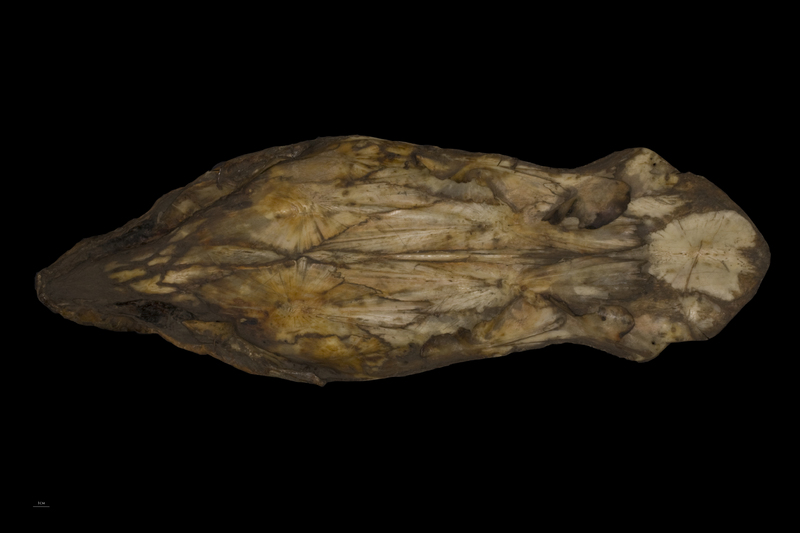 Sturgeon skull ventral view