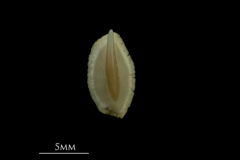 Thornback ray buckler spine dorsal view