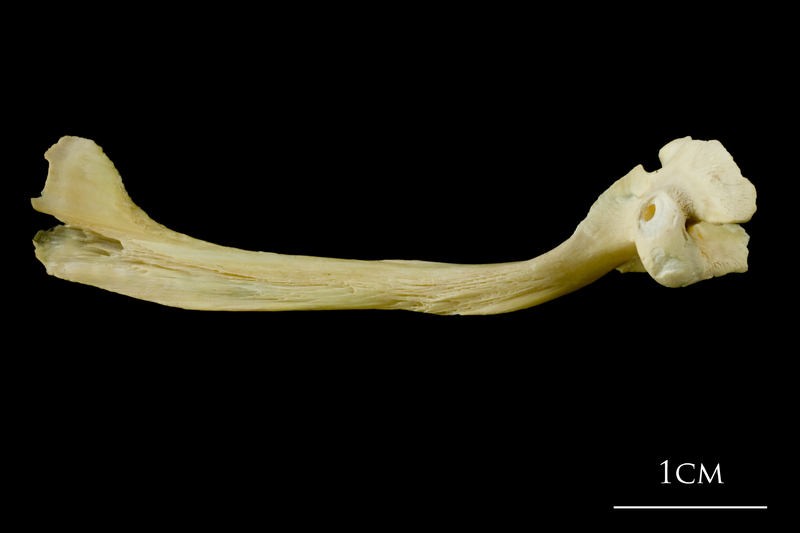 Atlantic cod maxilla medial view