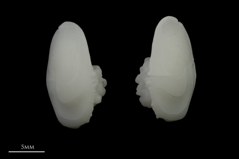 Meagre otolith(s) detail view