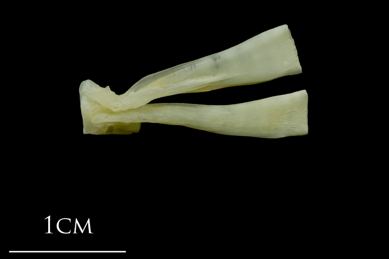 Northern pike ultimate vertebra lateral view