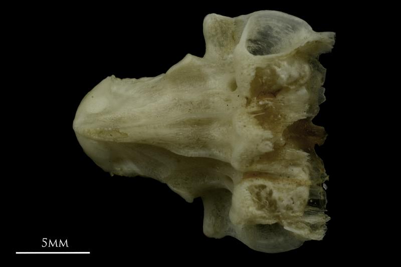 Common pandora vomer dorsal view