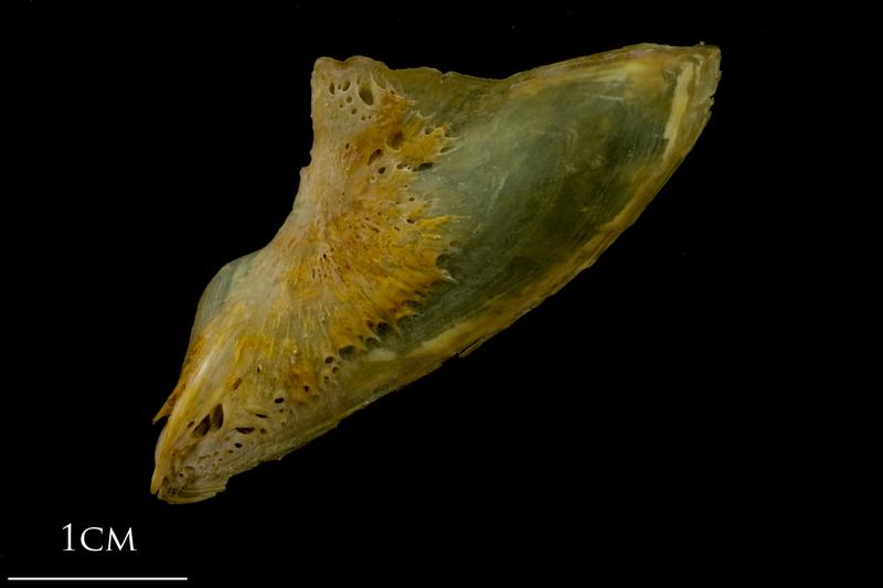 Thinlip grey mullet  subopercular lateral view
