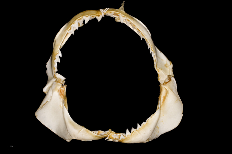 Blue Shark jaw anterior view