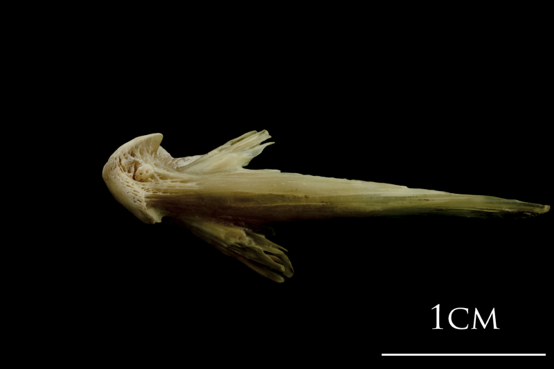 Turbot vomer ventral view