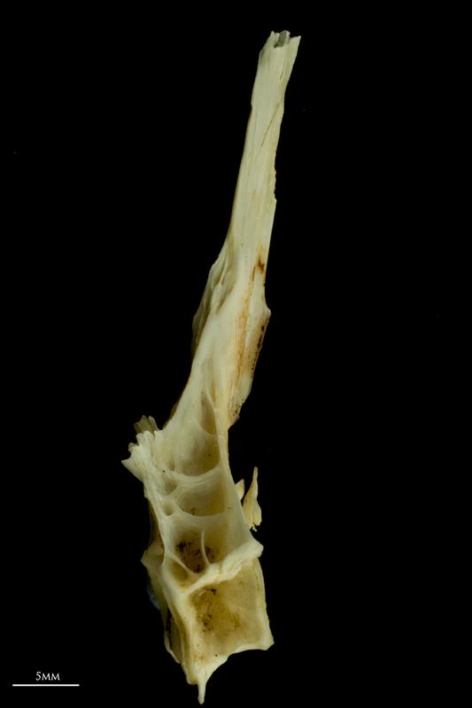 Common carp precaudal vertebra lateral view