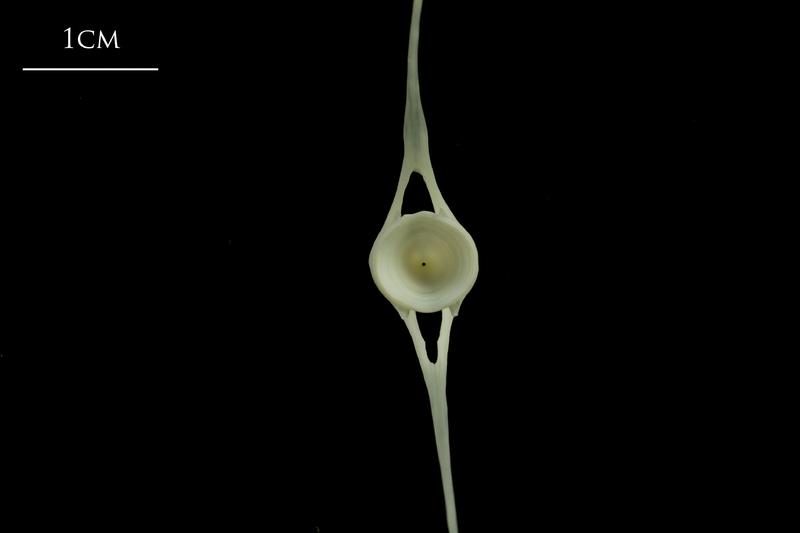 Whiting caudal vertebra posterior view