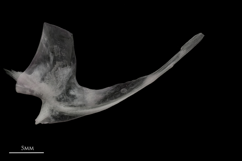 Parrot fish postcleithrum medial view