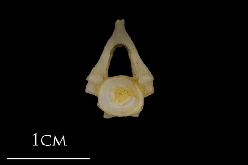 Shore rockling precaudal vertebra anterior view
