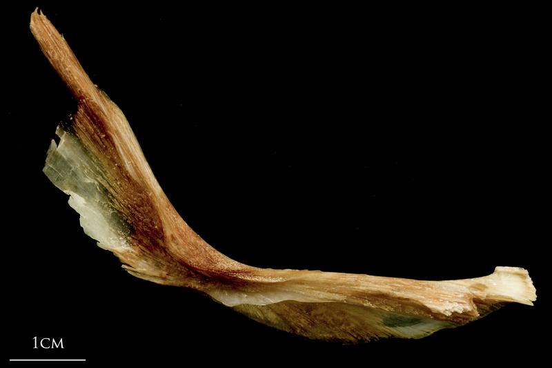 Catfish cleithrum medial view