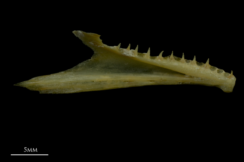 Arctic Char dentary medial view