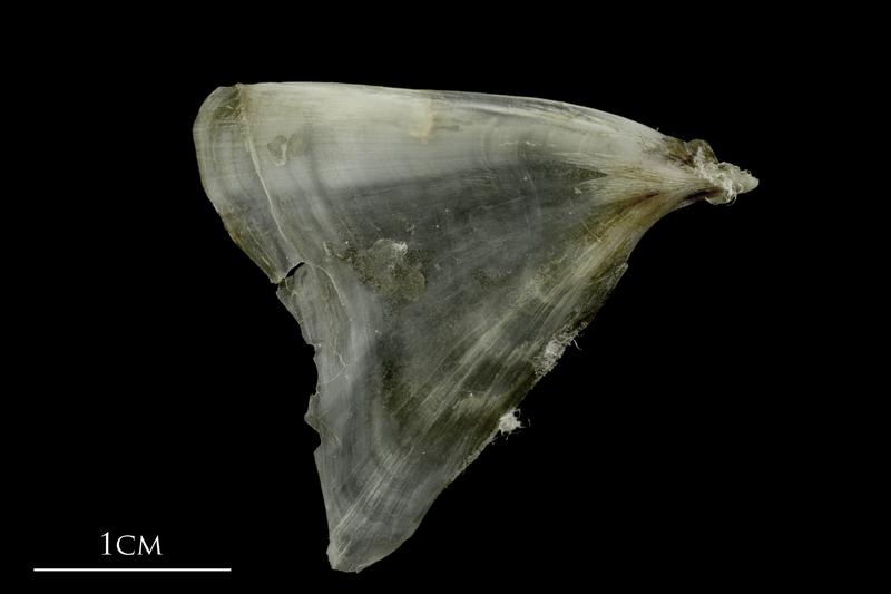 Brill opercular lateral view