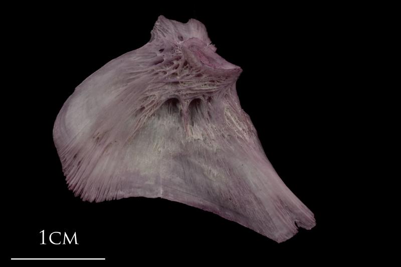 Wels catfish opercular medial view