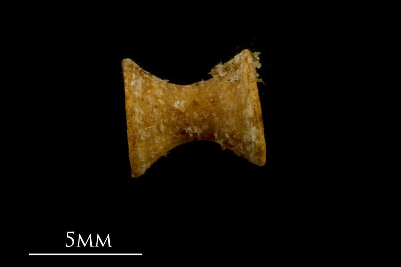 Spurdog precaudal vertebra lateral view